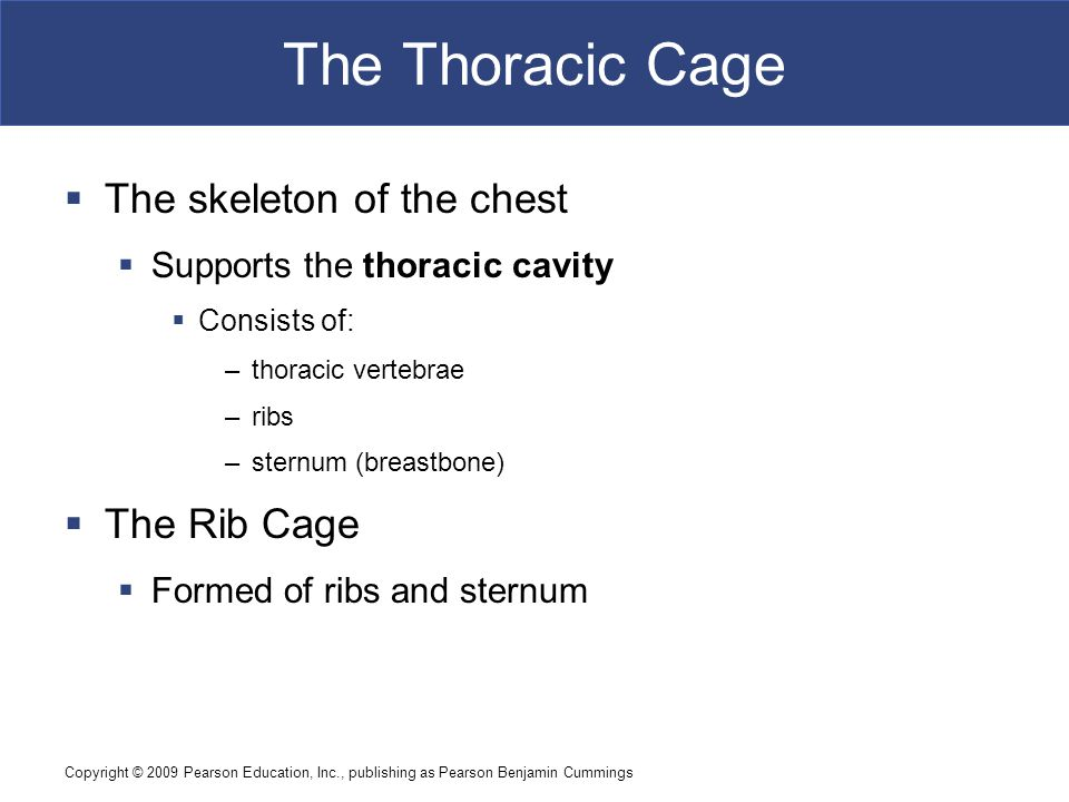 The Thoracic Cage The skeleton of the chest The Rib Cage