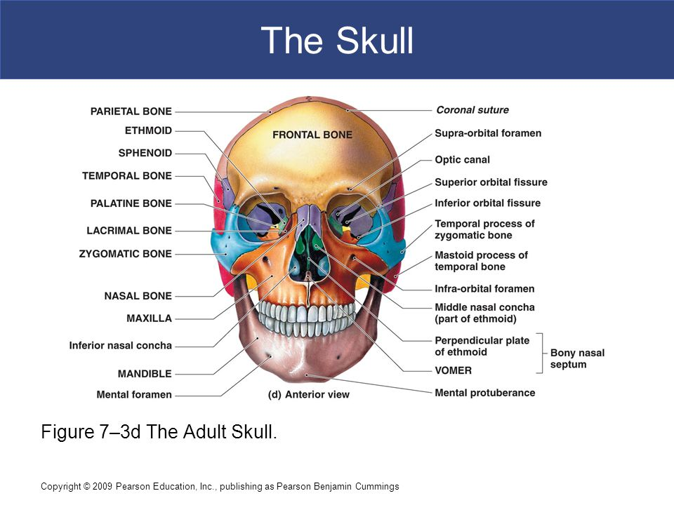 The Skull Figure 7–3d The Adult Skull.
