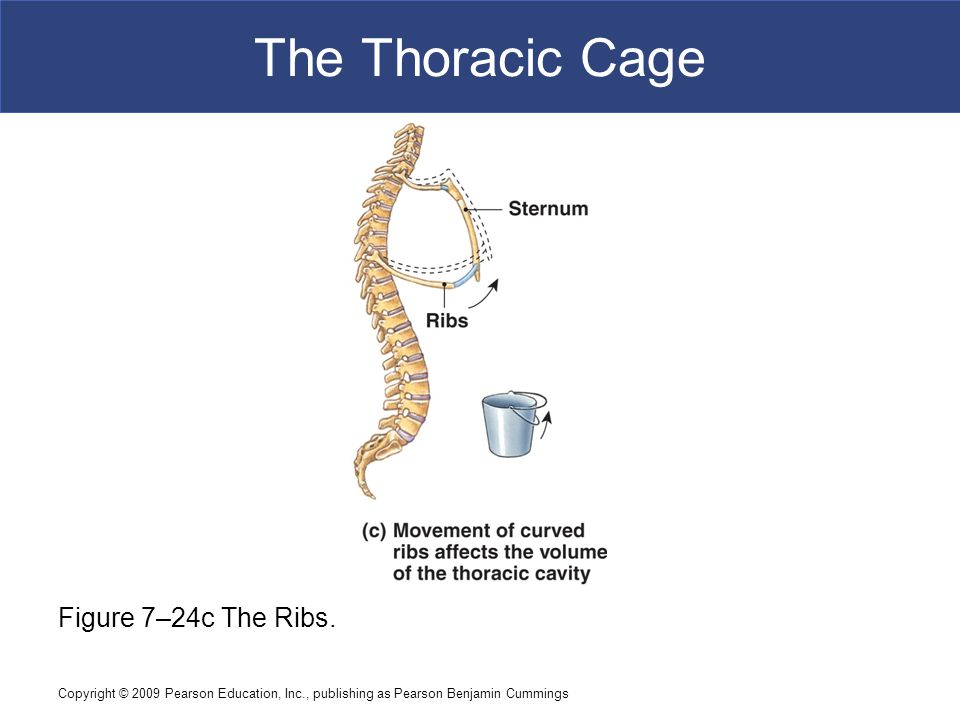 The Thoracic Cage Figure 7–24c The Ribs.