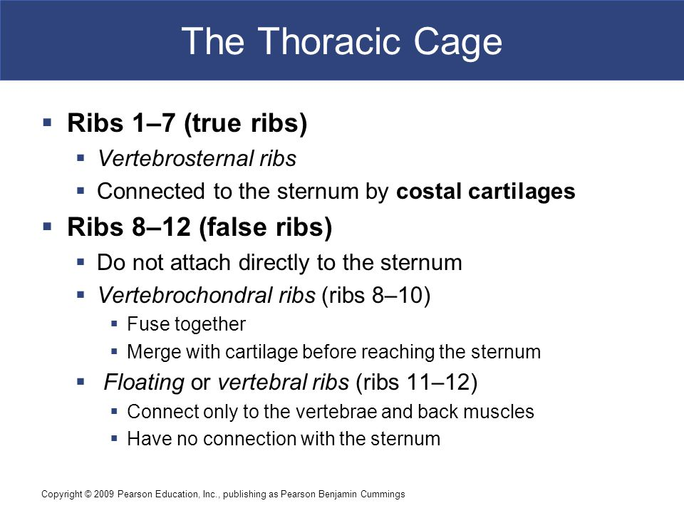 The Thoracic Cage Ribs 1–7 (true ribs) Ribs 8–12 (false ribs)