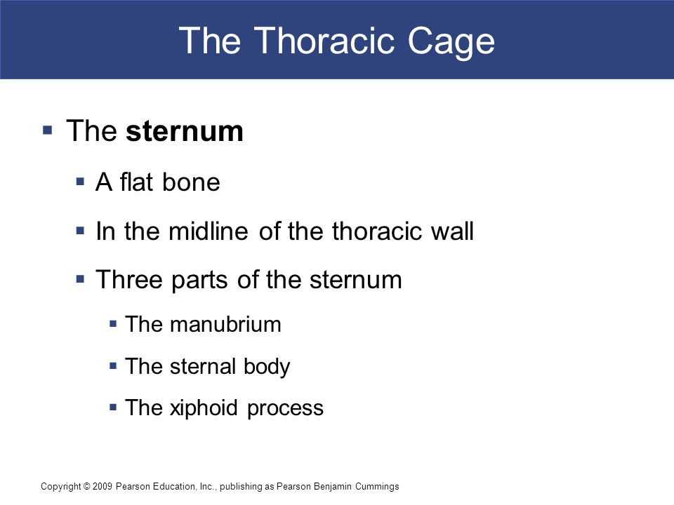 The Thoracic Cage The sternum A flat bone