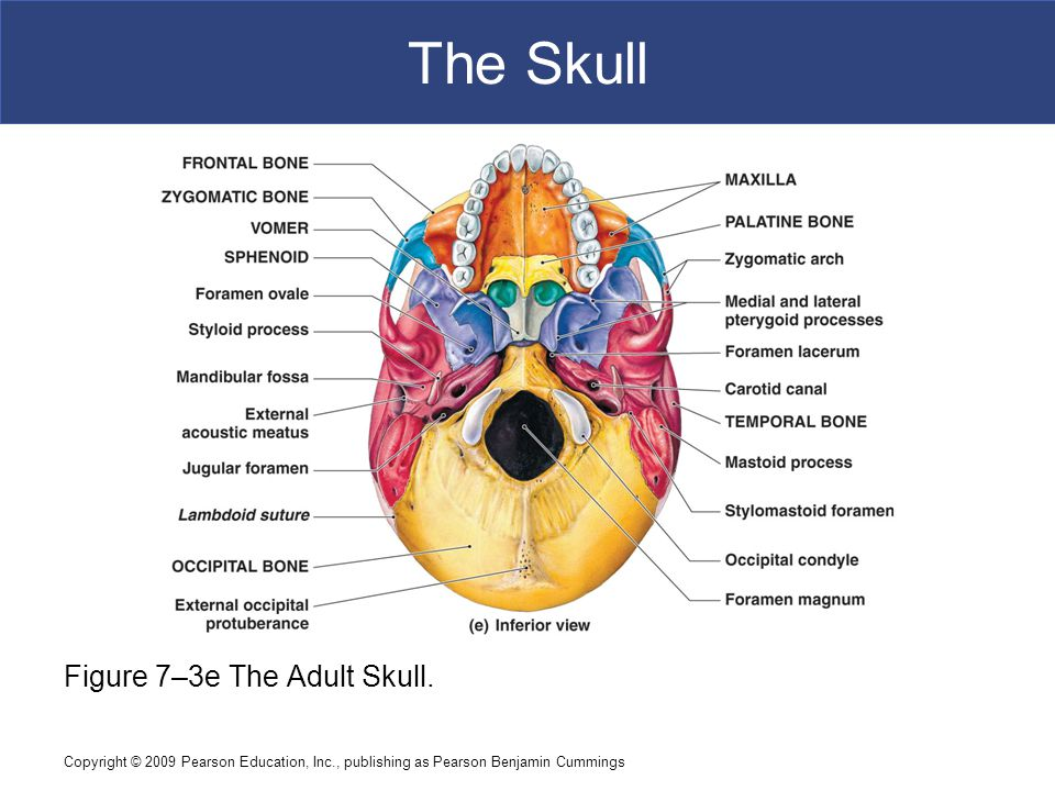 The Skull Figure 7–3e The Adult Skull.