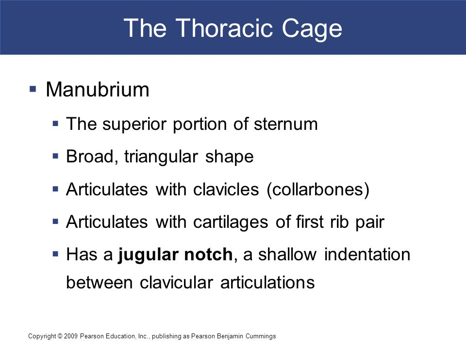 The Thoracic Cage Manubrium The superior portion of sternum