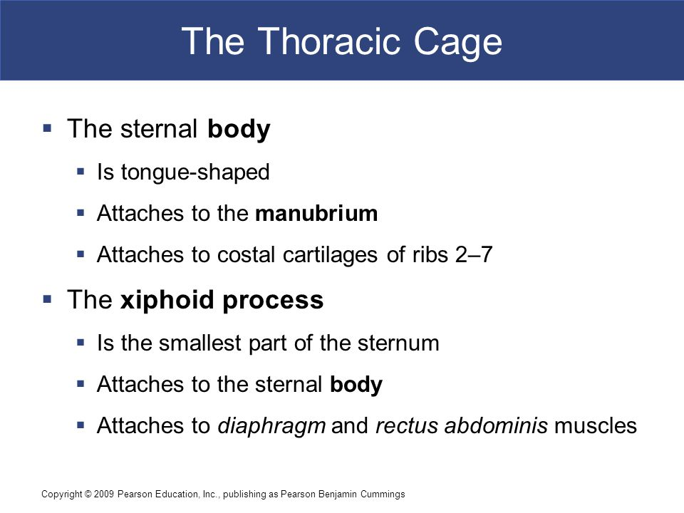 The Thoracic Cage The sternal body The xiphoid process