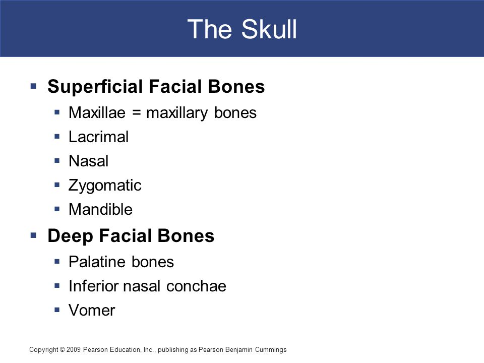 The Skull Superficial Facial Bones Deep Facial Bones