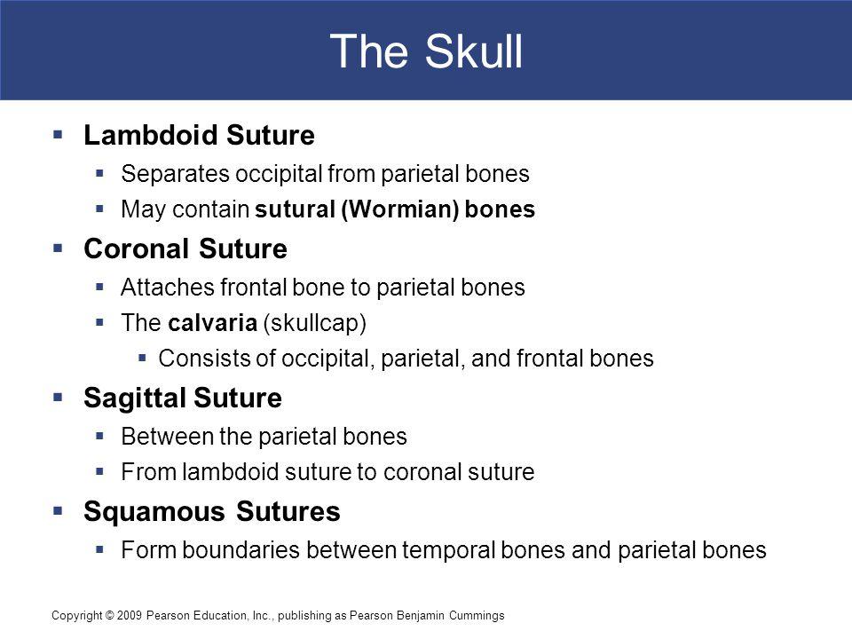 The Skull Lambdoid Suture Coronal Suture Sagittal Suture