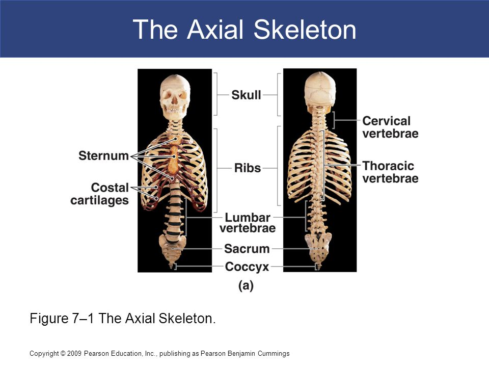 The Axial Skeleton Figure 7–1 The Axial Skeleton.