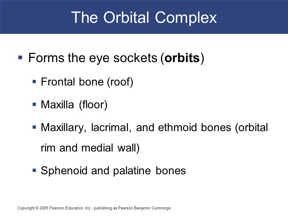 The Orbital Complex Forms the eye sockets (orbits) Frontal bone (roof)