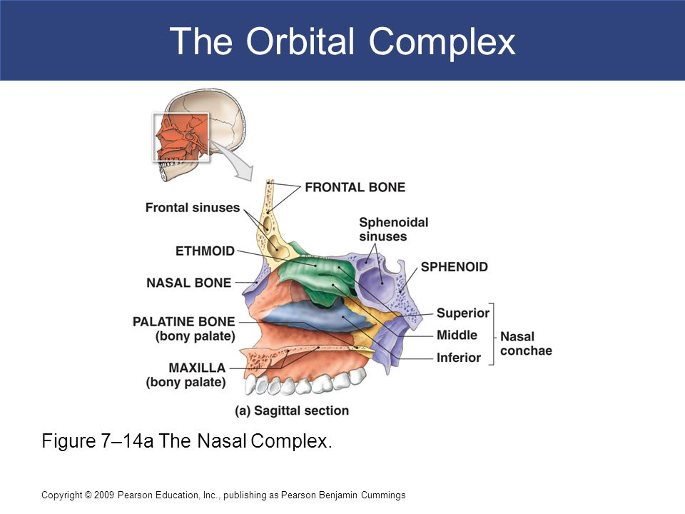 The Orbital Complex Figure 7–14a The Nasal Complex.