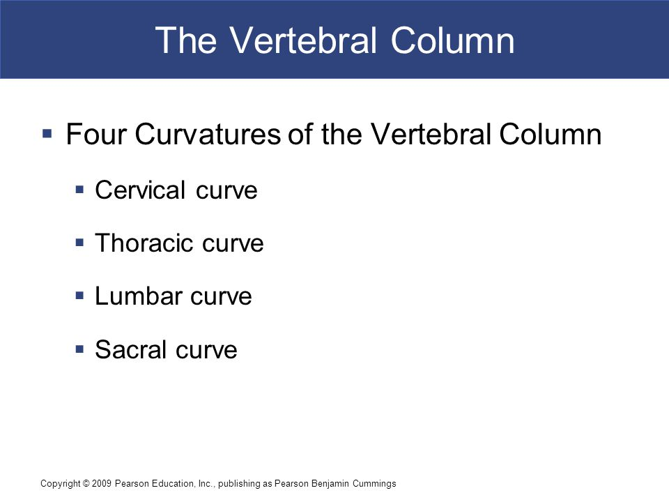 The Vertebral Column Four Curvatures of the Vertebral Column