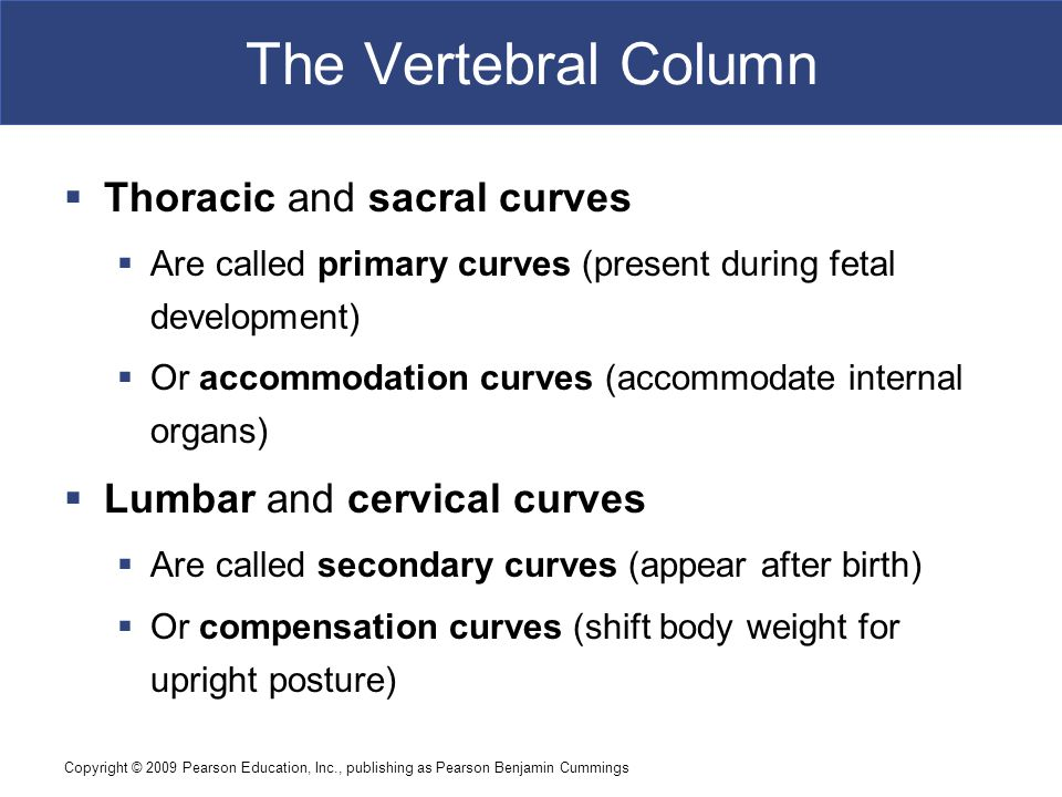 The Vertebral Column Thoracic and sacral curves