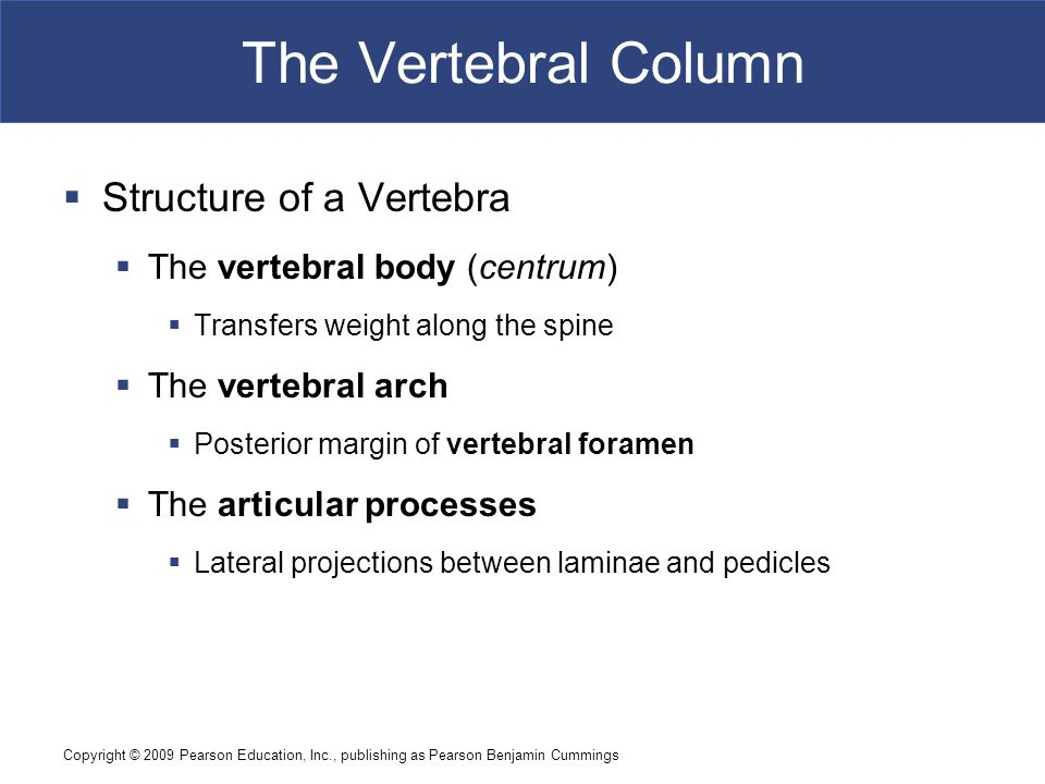 The Vertebral Column Structure of a Vertebra