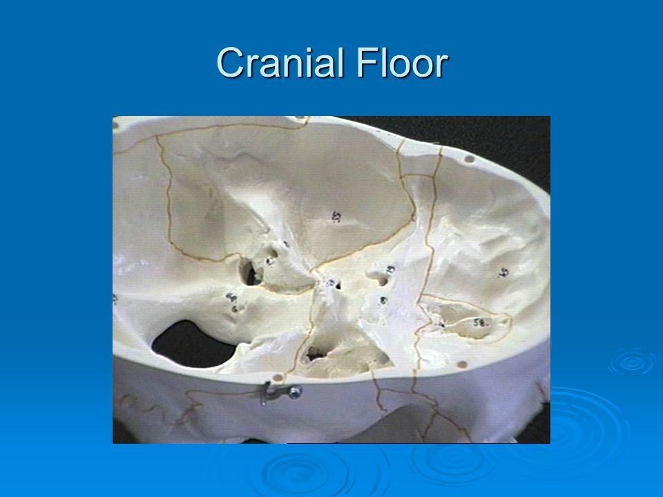 Cranial Floor