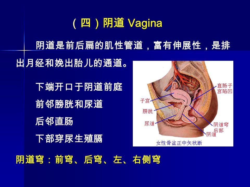 (四)阴道 Vagina 阴道是前后扁的肌性管道,富有伸展性,是排出月经和娩出胎儿的通道。 下端开口于阴道前庭 前邻膀胱和尿道 后邻直肠