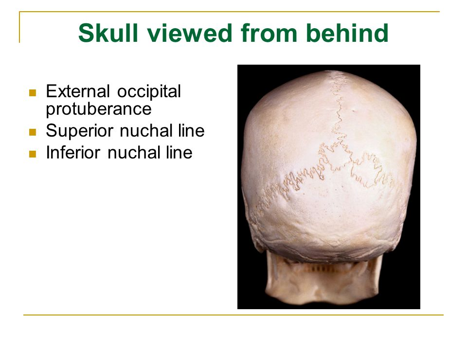 Skull viewed from behind