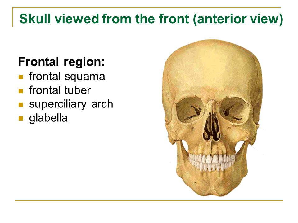 Skull viewed from the front (anterior view)