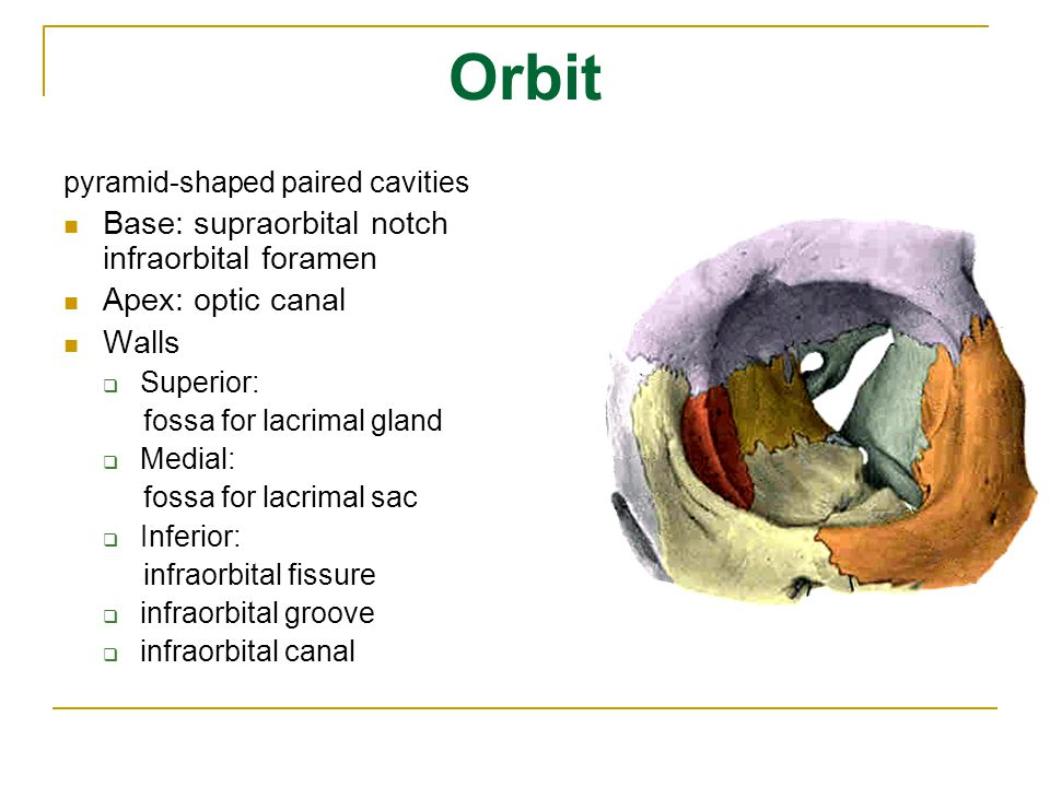 Orbit Base: supraorbital notch infraorbital foramen Apex: optic canal