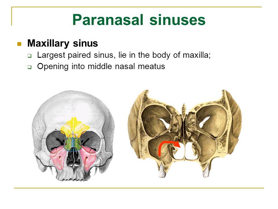 Paranasal sinuses Maxillary sinus
