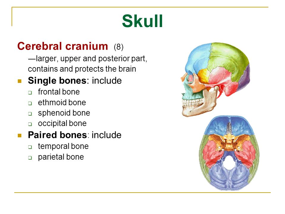 Skull Cerebral cranium (8) ―larger, upper and posterior part, contains and protects the brain. Single bones: include.
