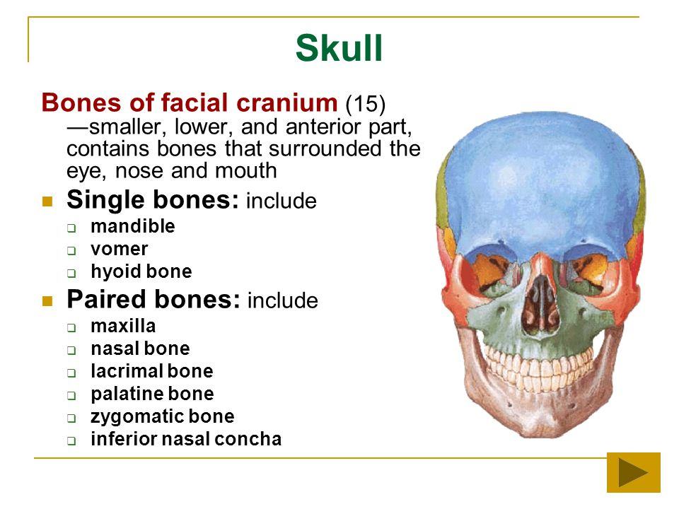 Skull Bones of facial cranium (15) ―smaller, lower, and anterior part, contains bones that surrounded the eye, nose and mouth.