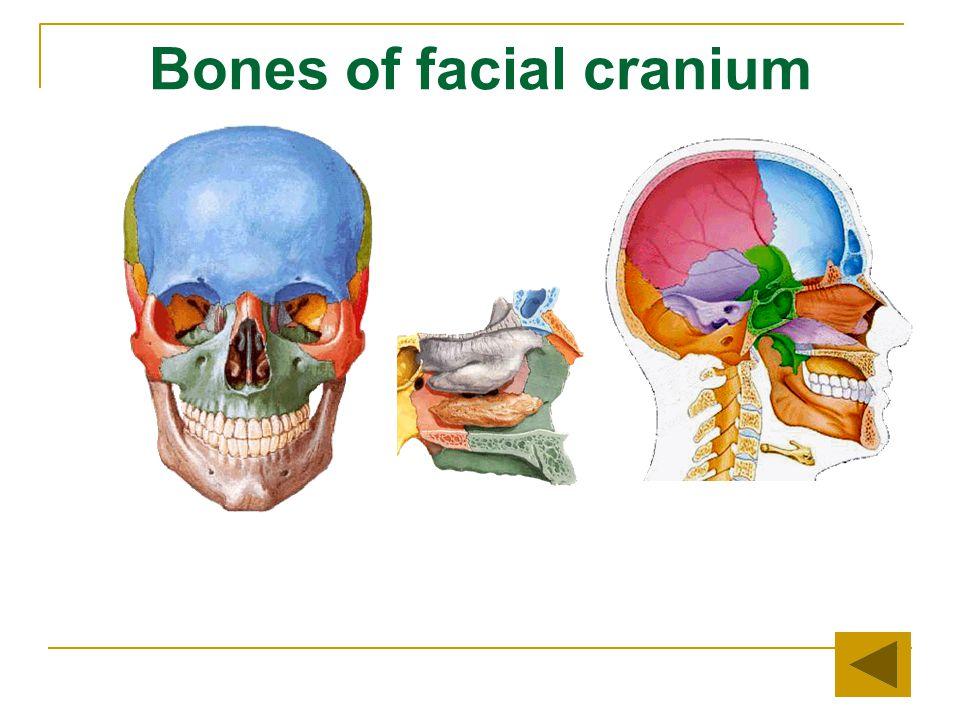 Bones of facial cranium