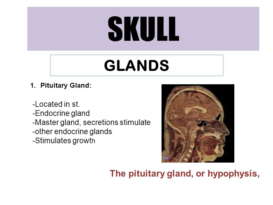 SKULL GLANDS The pituitary gland, or hypophysis, Located in st.