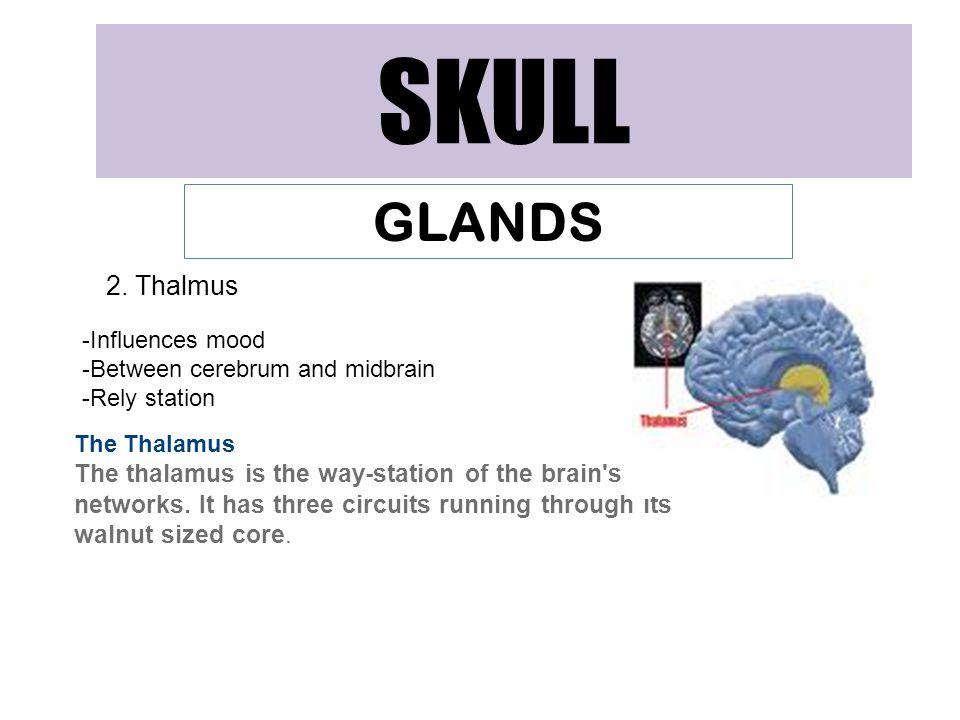 SKULL GLANDS 2. Thalmus -Influences mood
