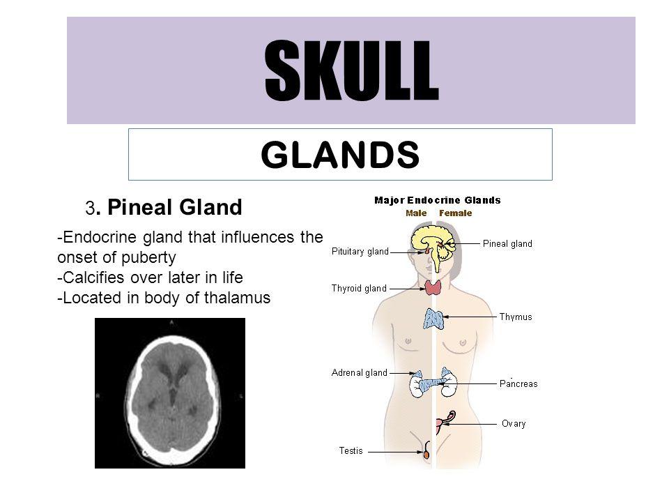 SKULL GLANDS 3. Pineal Gland