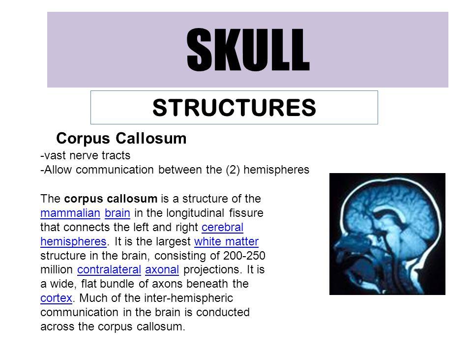 SKULL STRUCTURES Corpus Callosum -vast nerve tracts