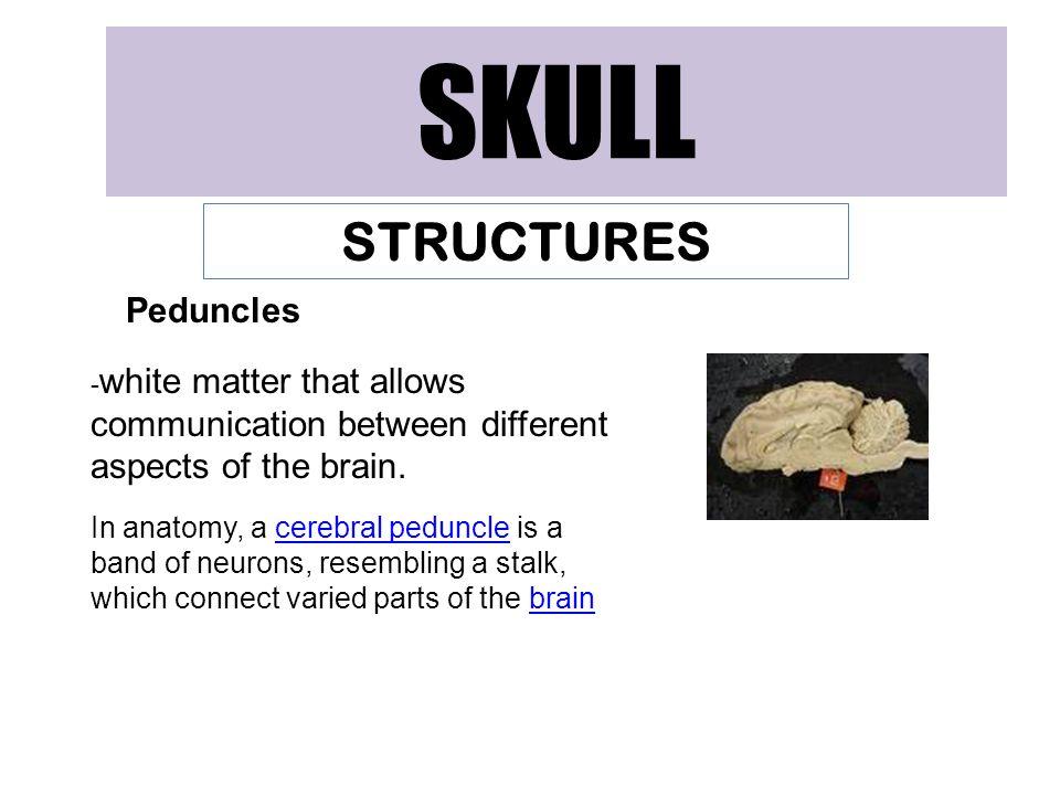 SKULL STRUCTURES Peduncles