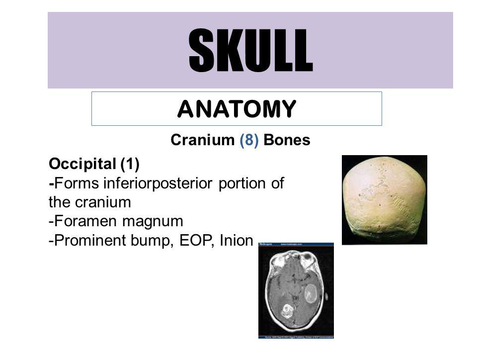 SKULL ANATOMY Cranium (8) Bones Occipital (1)