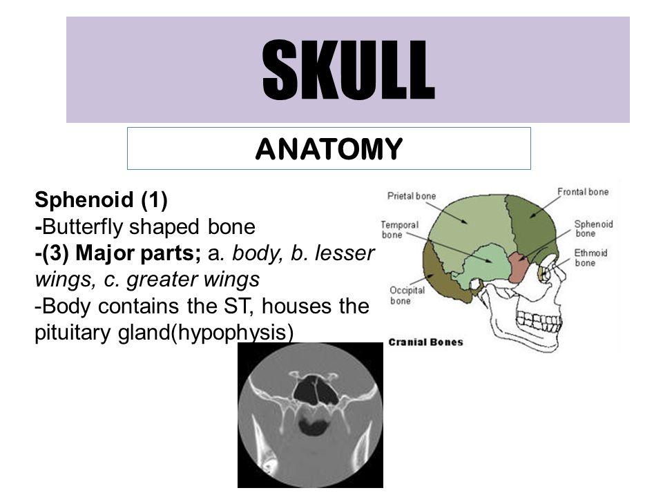 SKULL ANATOMY Sphenoid (1) -Butterfly shaped bone