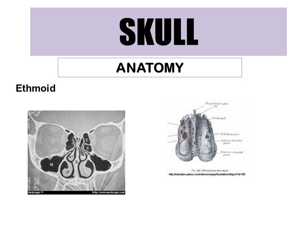 SKULL ANATOMY Ethmoid