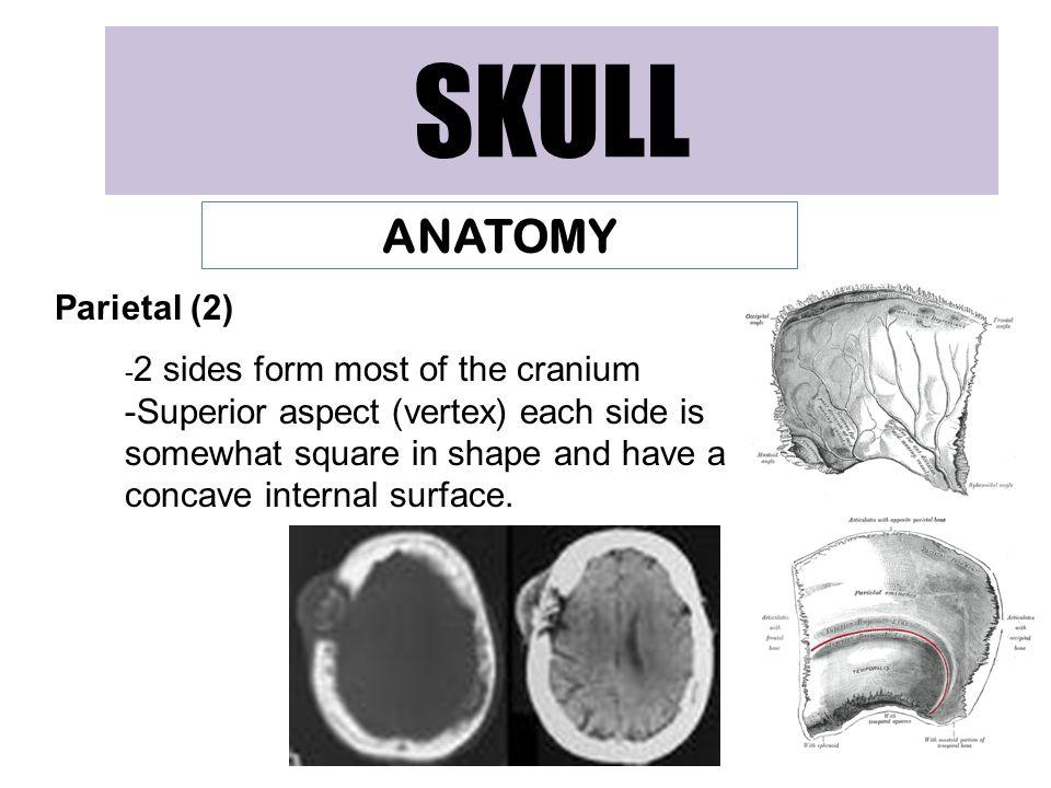 SKULL ANATOMY Parietal (2)