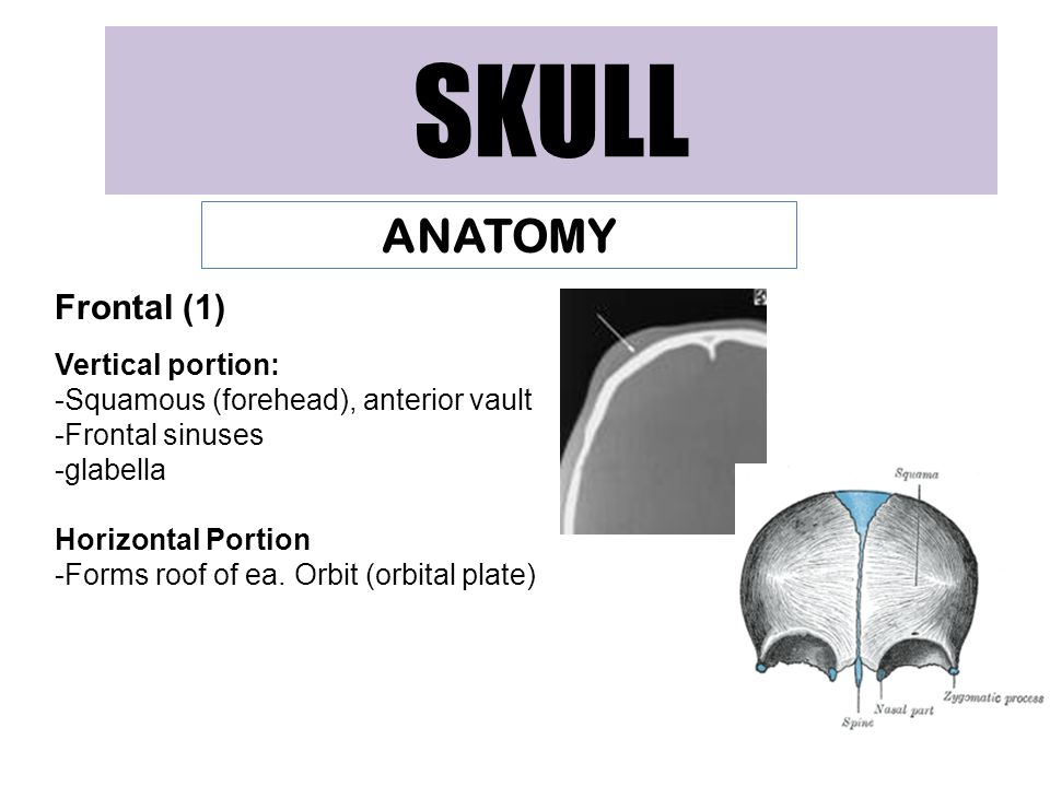 SKULL ANATOMY Frontal (1) Vertical portion: