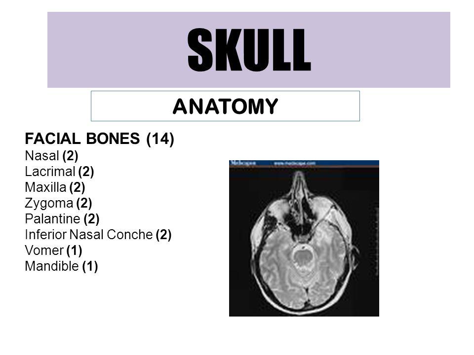 SKULL ANATOMY FACIAL BONES (14) Nasal (2) Lacrimal (2) Maxilla (2)