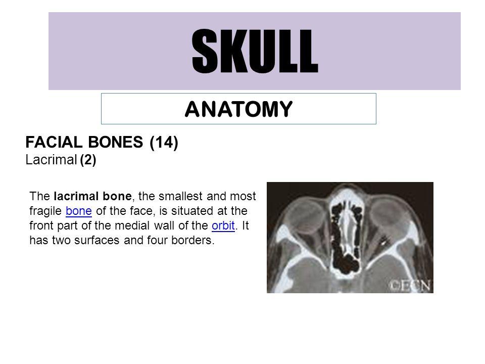 SKULL ANATOMY FACIAL BONES (14) Lacrimal (2)