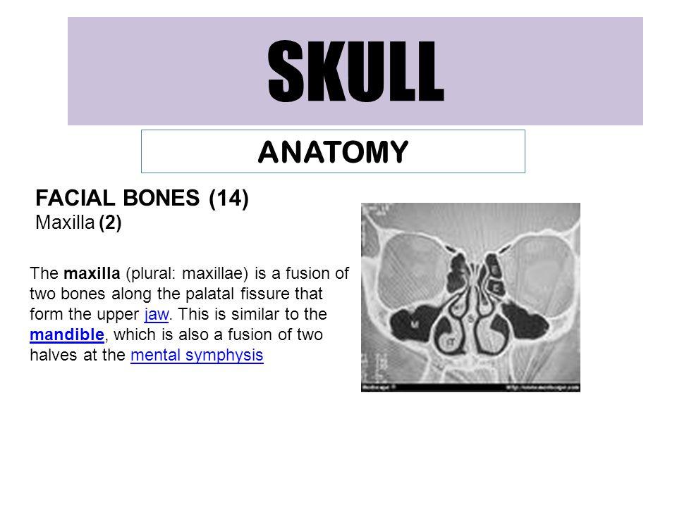 SKULL ANATOMY FACIAL BONES (14) Maxilla (2)