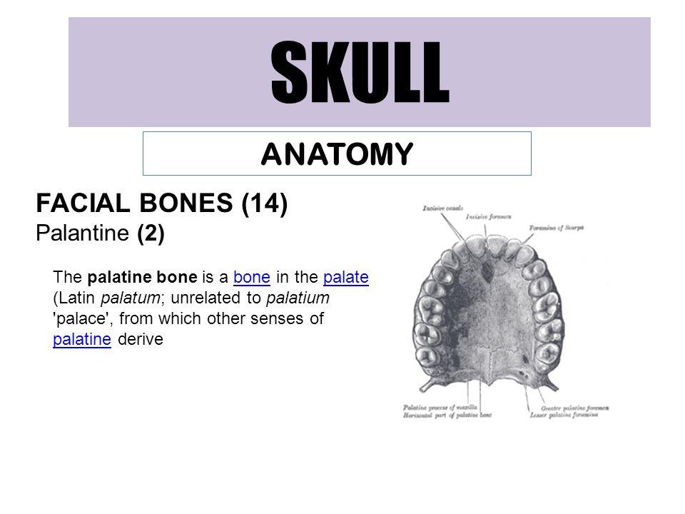 SKULL ANATOMY FACIAL BONES (14) Palantine (2)