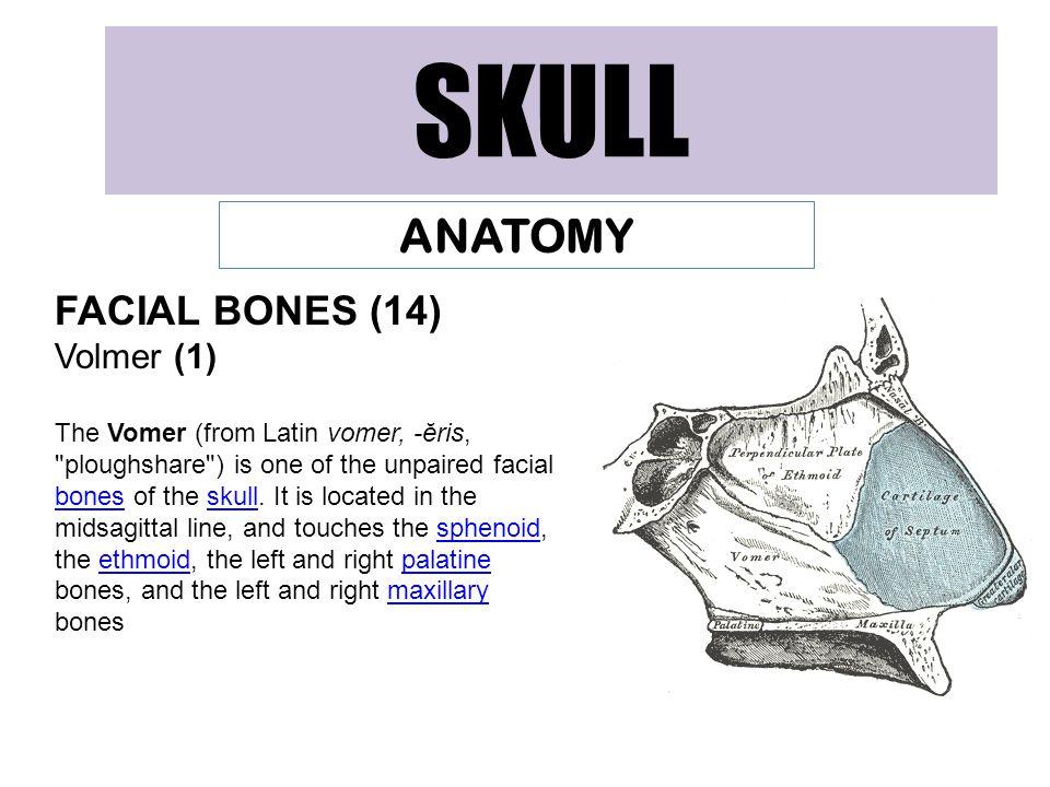 SKULL ANATOMY FACIAL BONES (14) Volmer (1)