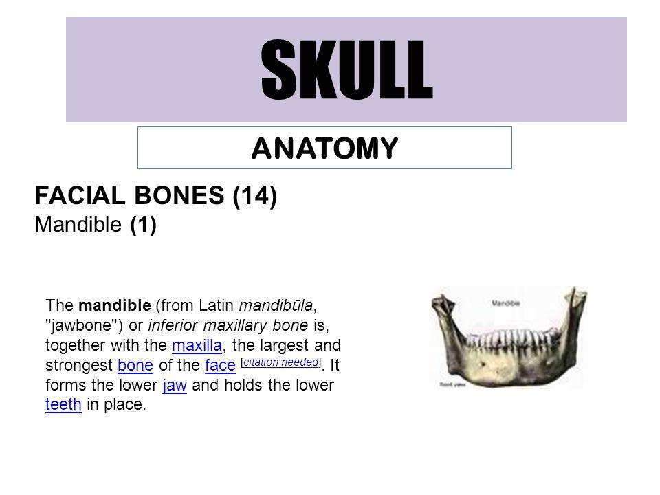 SKULL ANATOMY FACIAL BONES (14) Mandible (1)