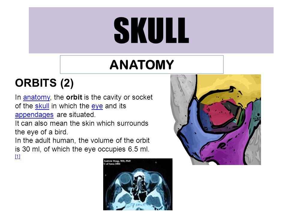 SKULL ANATOMY ORBITS (2)