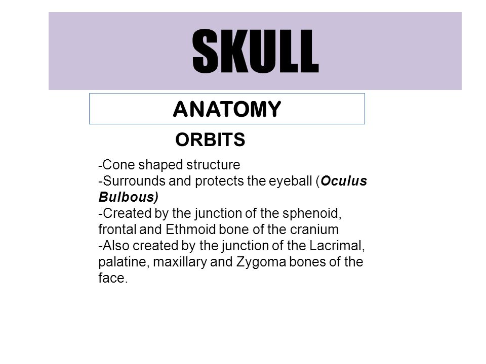 SKULL ANATOMY. ORBITS. -Cone shaped structure. -Surrounds and protects the eyeball (Oculus Bulbous)