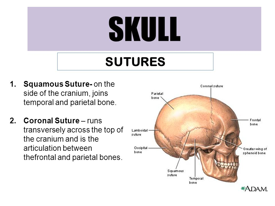 SKULL SUTURES. Squamous Suture- on the side of the cranium, joins temporal and parietal bone.