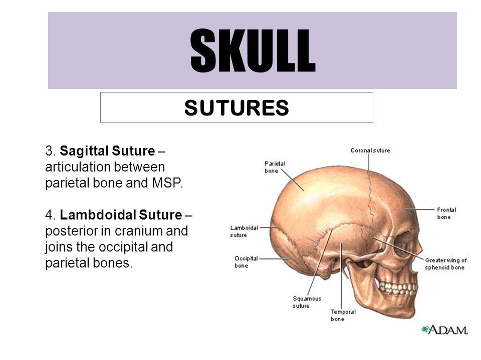 SKULL SUTURES. 3. Sagittal Suture – articulation between parietal bone and MSP.