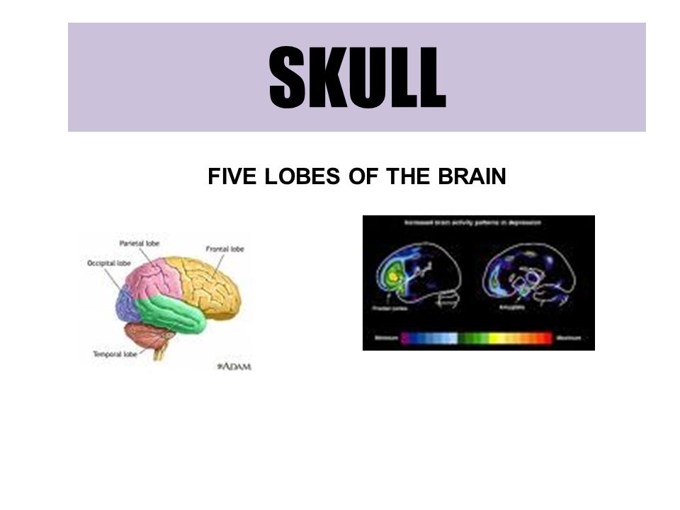 SKULL FIVE LOBES OF THE BRAIN