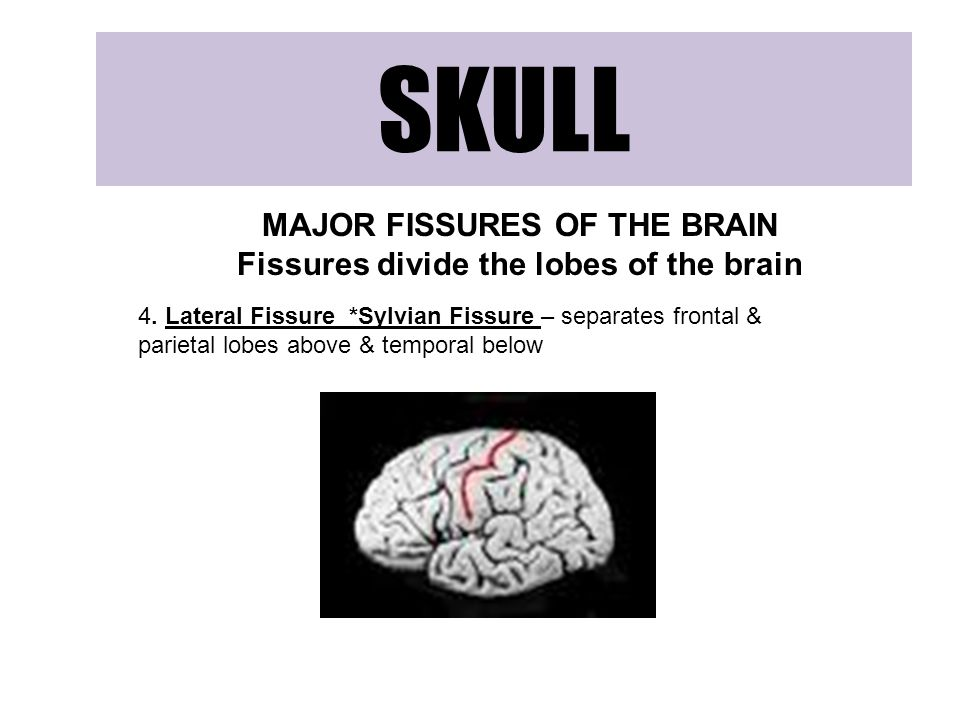 MAJOR FISSURES OF THE BRAIN Fissures divide the lobes of the brain