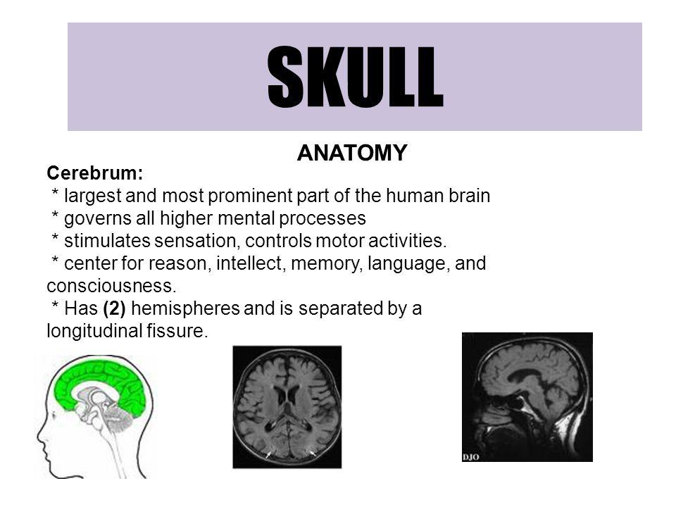 SKULL ANATOMY Cerebrum: