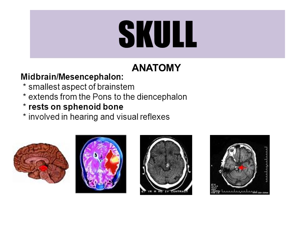 SKULL ANATOMY Midbrain/Mesencephalon: * smallest aspect of brainstem