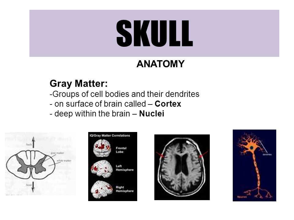 SKULL ANATOMY Gray Matter: Groups of cell bodies and their dendrites